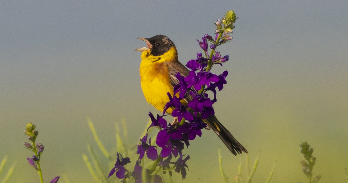Black-headed Bunting shifting north-west