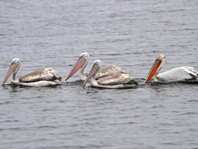 Dalmatian Pelican (KaiGauger, courtesy of Birding Breaks)