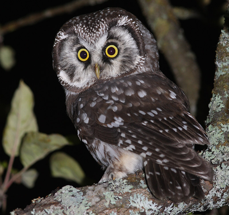 Tengmalm's Owl (photo courtesy of Birding Breaks).