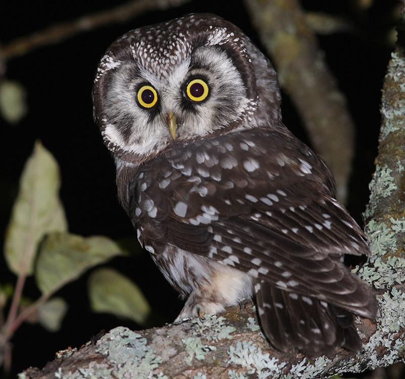 Tengmalm's Owl (photo courtesy of Birding Breaks).