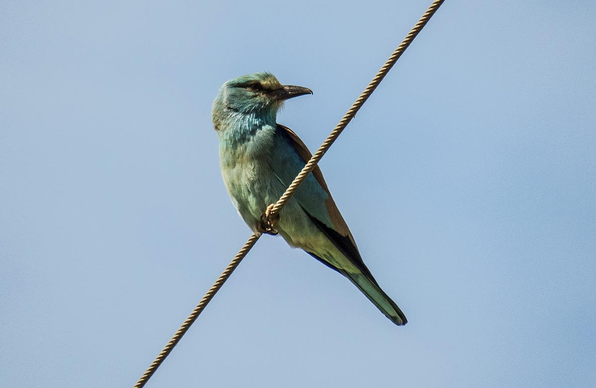 European Roller (photo: Valencia Birding).