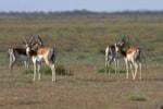 Gazelles (Kai Gauger, courtesy of Birding Breaks)