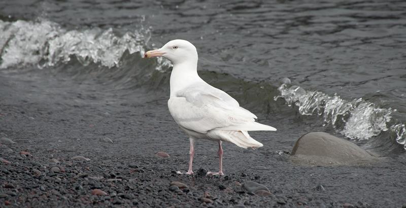 Glaucous Gull. Photo: Birding Breaks.
