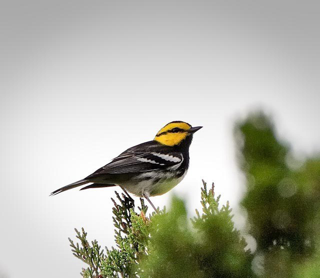 Golden-cheeked Warbler by Gary Lane