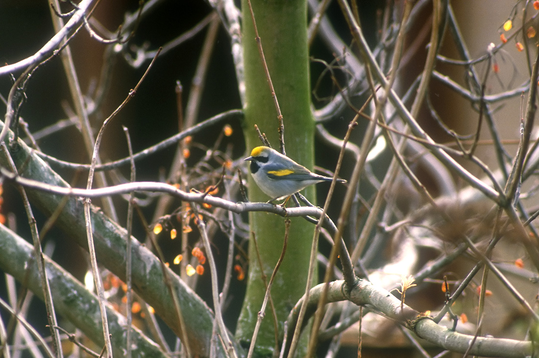 Golden-winged Warbler (George Reszeter)