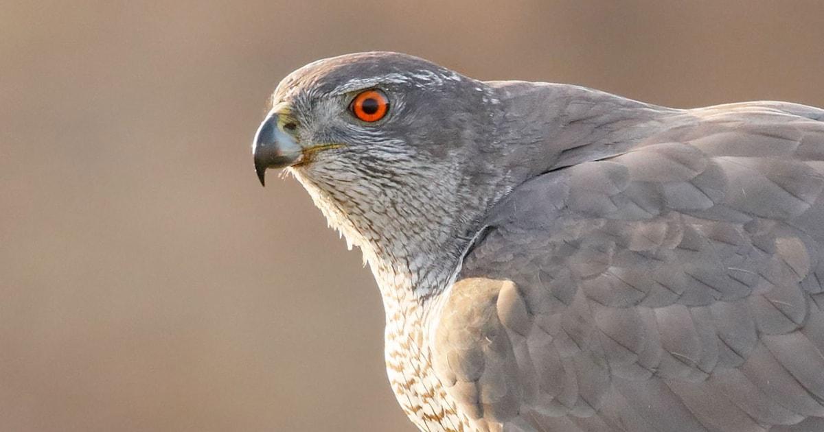 Eurasian Sparrowhawk and Northern Goshawk photo ID guide
