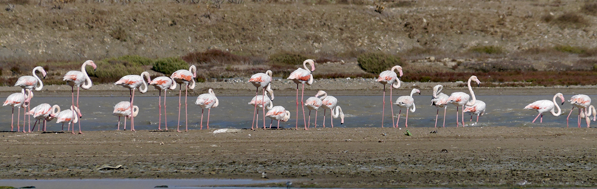 Greater Flamingo (David Chandler)