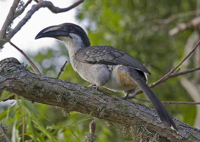 Sri Lanka Grey Hornbill - an endemic