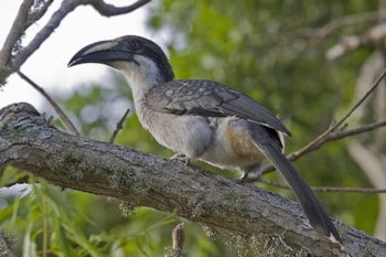 Sri Lanka Grey Hornbill - an endemic