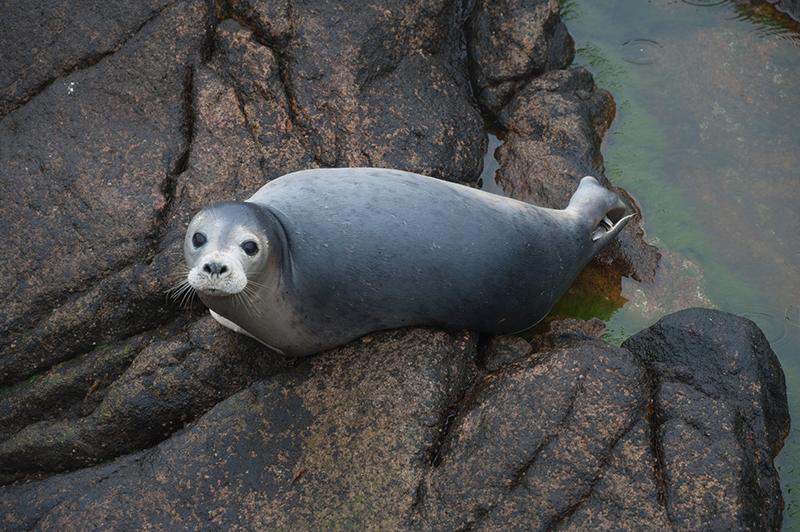 Grey Seal. Photo: Birding Breaks.