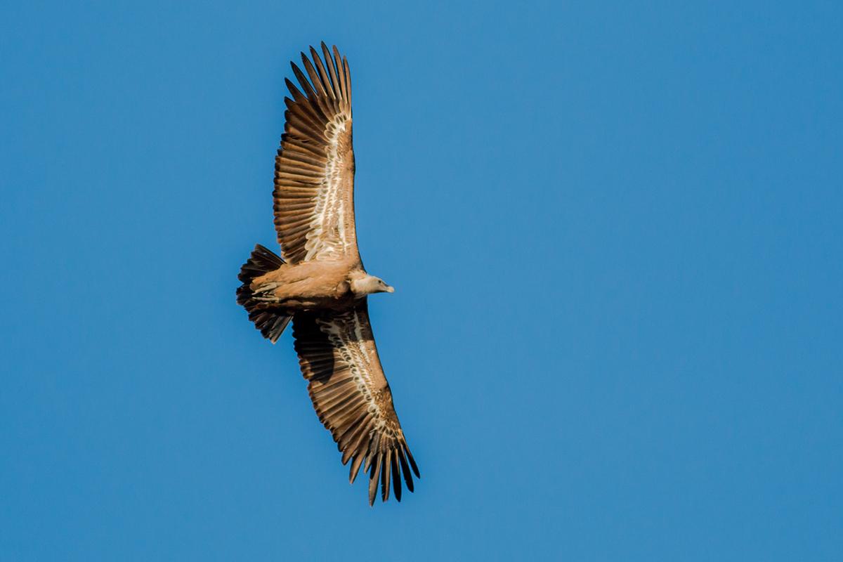 Griffon Vulture (Andres de la Cruz)