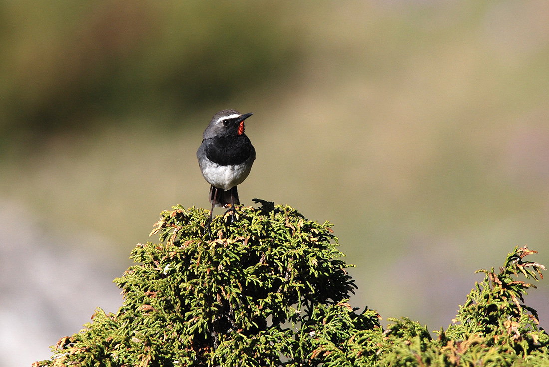 Himalayan Rubythroat (Laurens Steijn, courtesy of Birding Breaks)