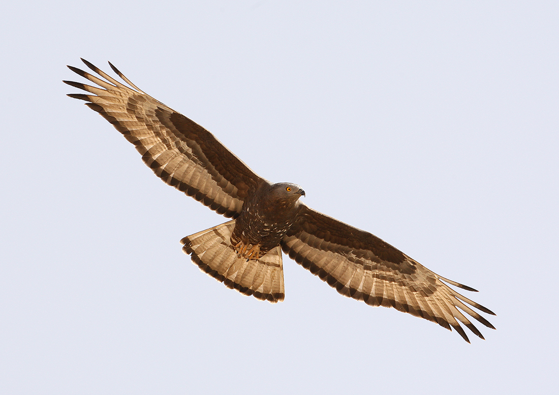 European Honey Buzzard (Steve Arlow).