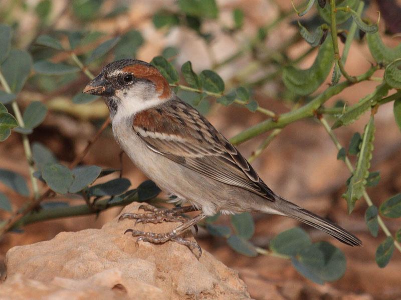 Iago Sparrow (Mark Newsome).