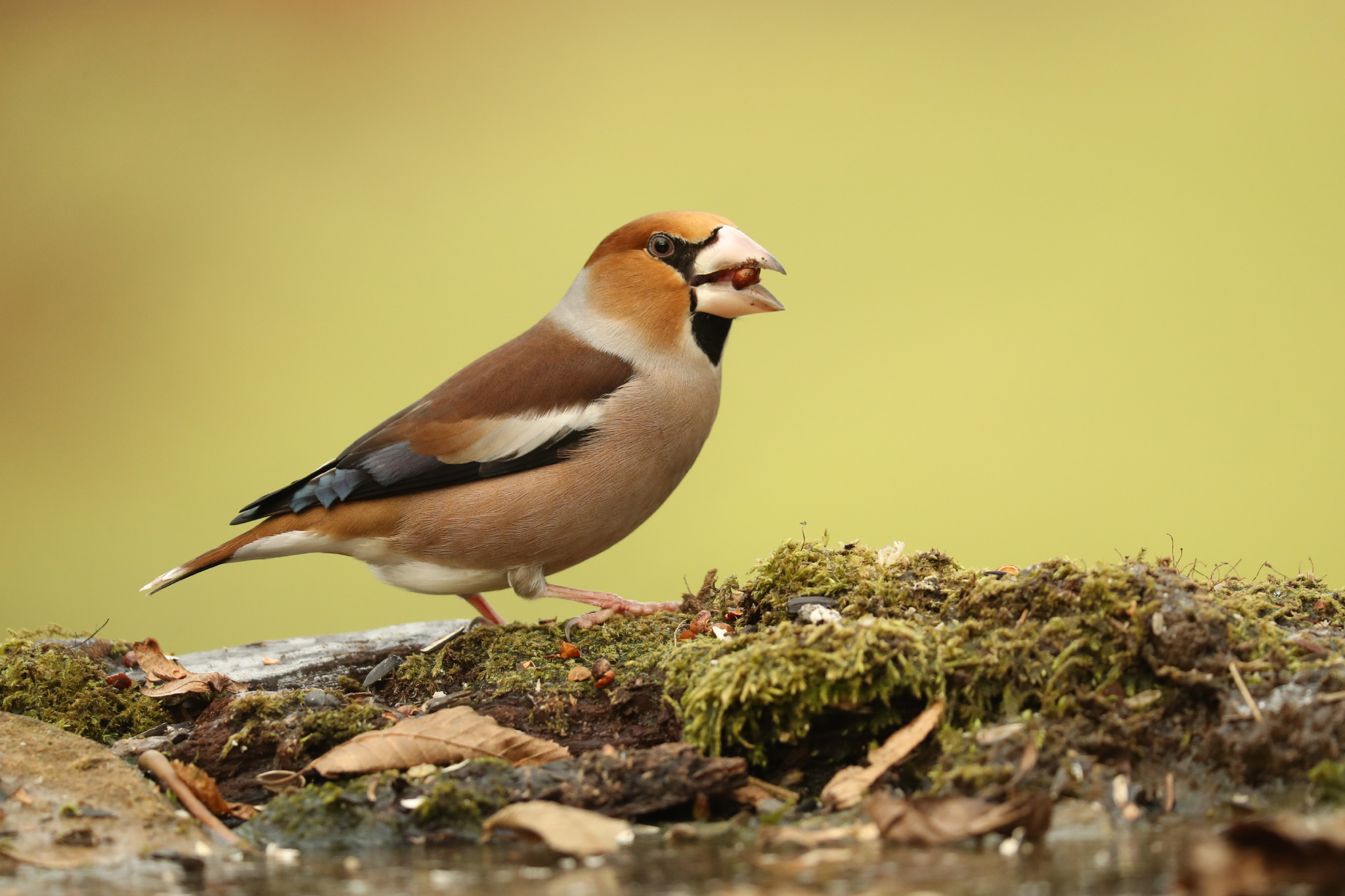 Picture perfect: how to photograph Hawfinches - BirdGuides