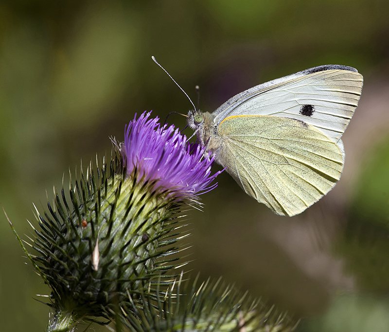 Large White butterfly at Sheringham, Norfolk. Photo by Ian Ward/National Trust Images.