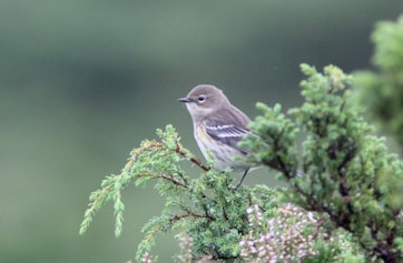 Myrtle Warbler. Photo: Dominic Mitchell.