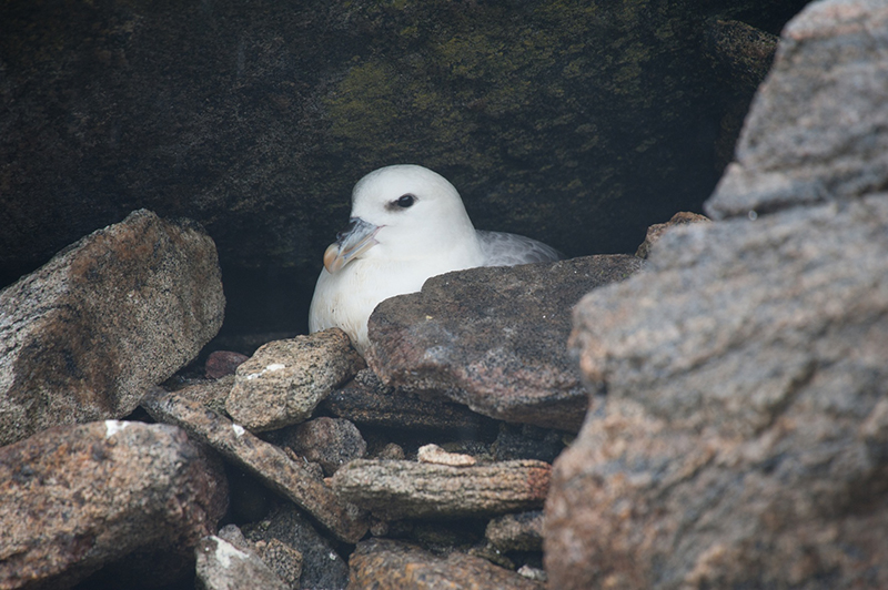 Northern Fulmar. Photo: Birding Breaks.