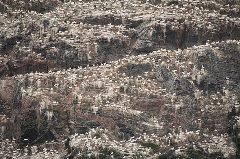 Northern Gannet Colony. Photo: Birding Breaks.