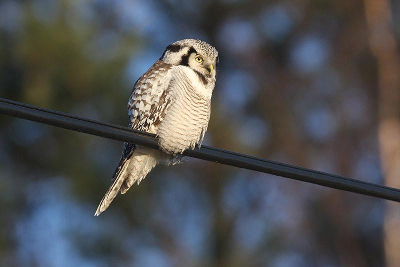 Northern Hawk Owl (photo courtesy of Birding Breaks).
