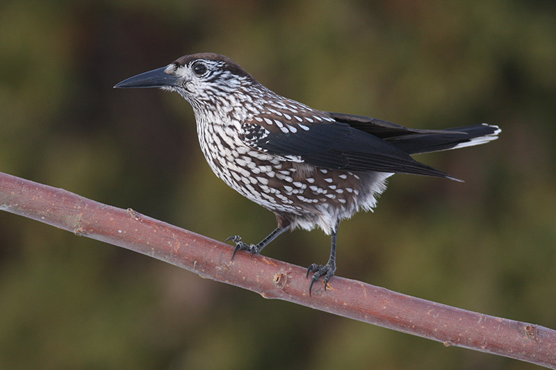 Nutcracker (photo courtesy of Birding Breaks).