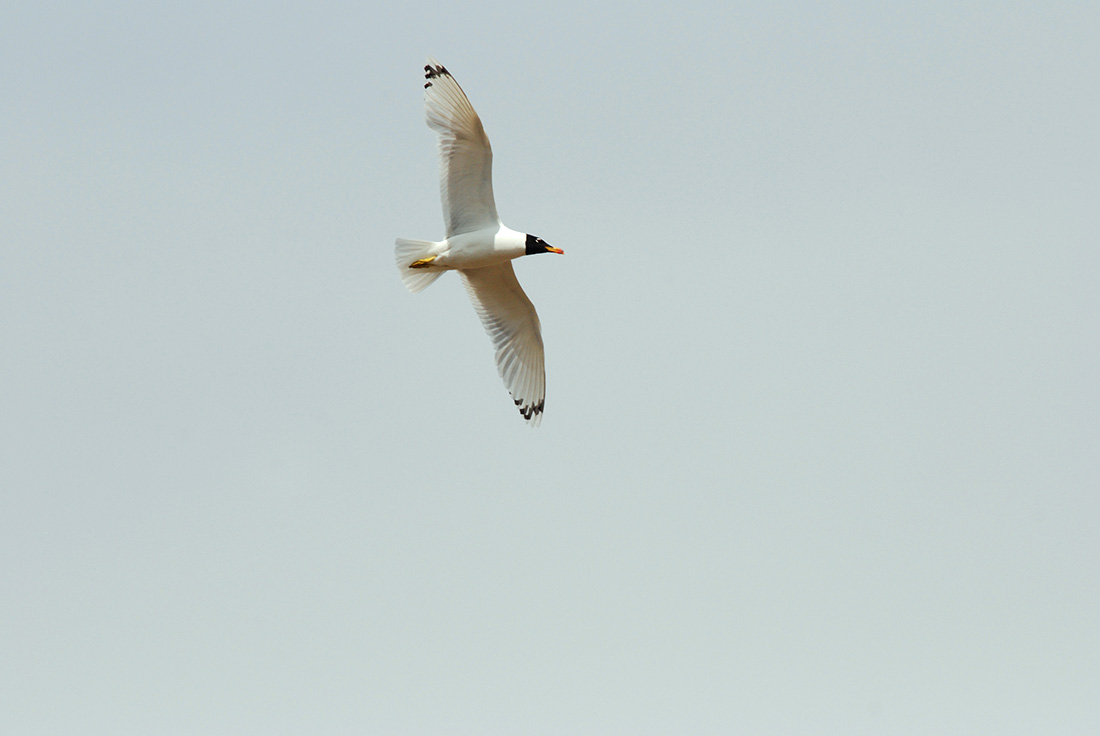 Pallas's Gull (Laurens Steijn, courtesy of Birding Breaks)