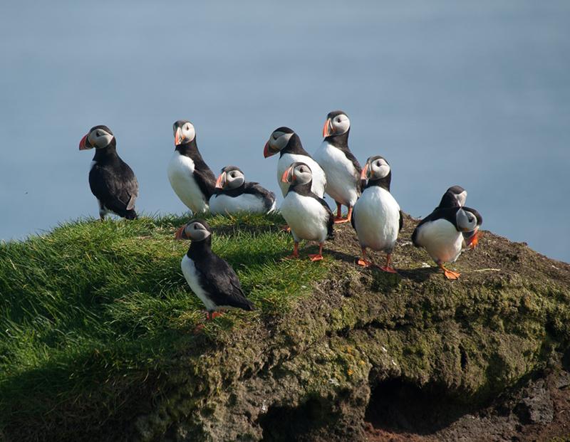 Puffins. Photo: Birding Breaks.