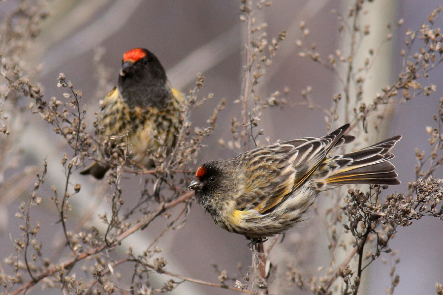 Red-fronted Serin (Kai Gauger, courtesy of Birding Breaks)
