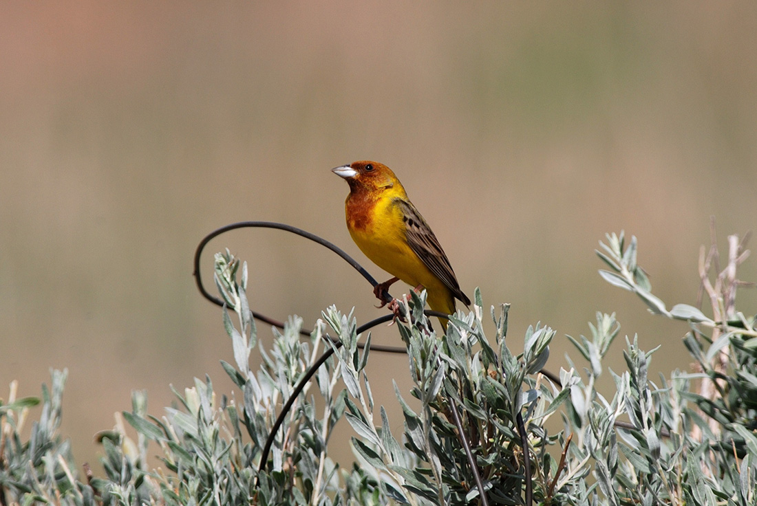 Red-headed Bunting (Laurens Steijn, courtesy of Birding Breaks)