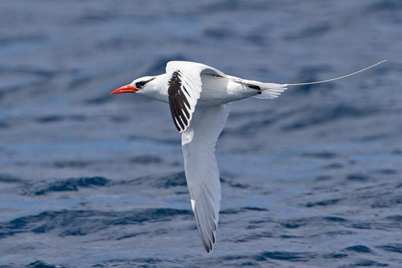Red-billed Tropicbird (Peter Beesley).