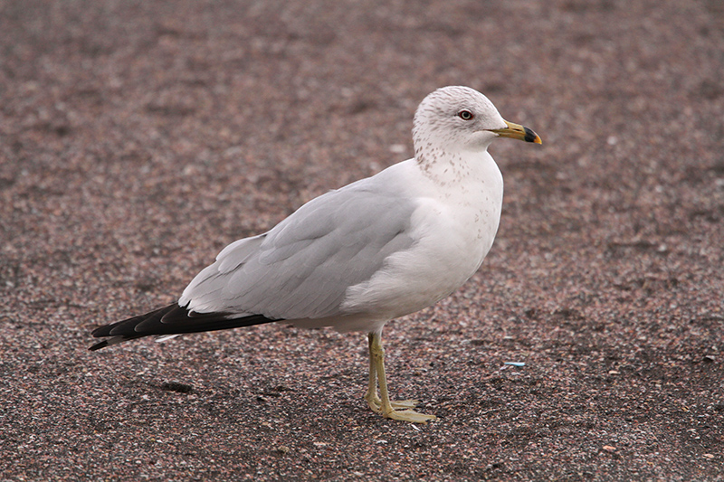 Ring-billed Gull. Photo: Dominic Mitchell.