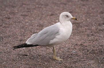 Ring-billed Gull. Photo: Dominic Mitchell.