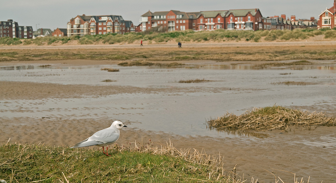 Ross's Gull, Fairhaven, March 2008, Steve Young
