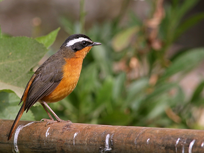 Rüppell's Robin Chat