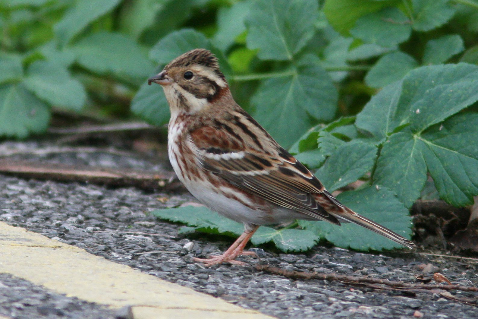 Reed Little And Rustic Buntings Photo Id Guide Birdguides