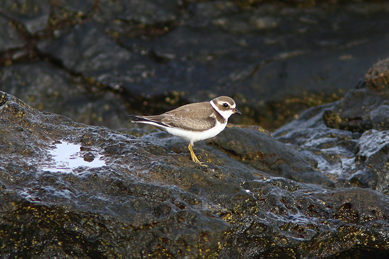 Semipalmated Plover. Photo: Dominic Mitchell.