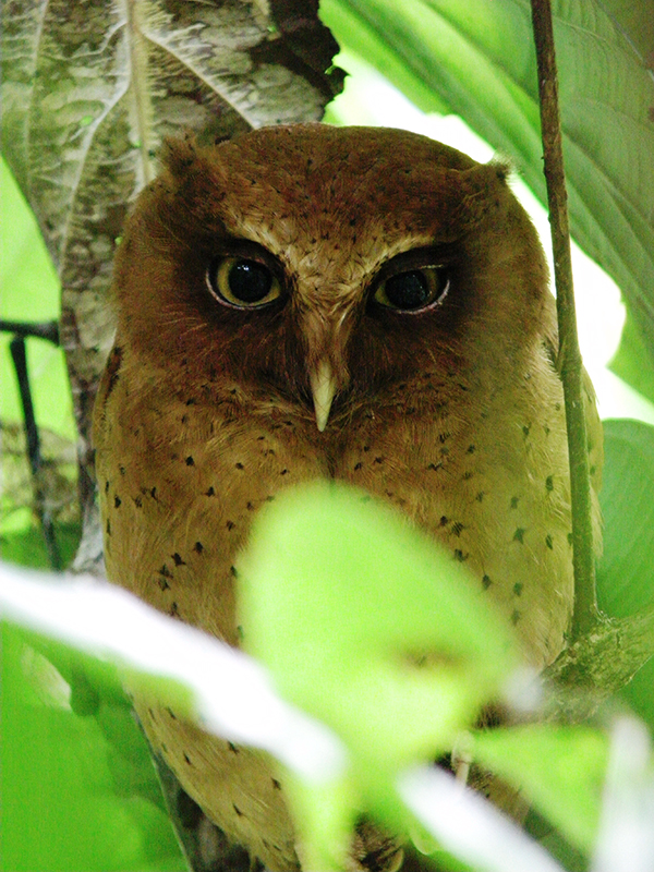 Serendib Scops Owl – an endemic described as recently as 2004