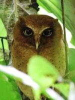 Serendib Scops Owl – an endemic described as recently as 2004