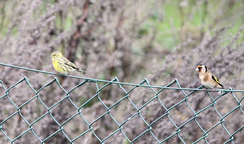 Serin and Goldfinch at Beddington