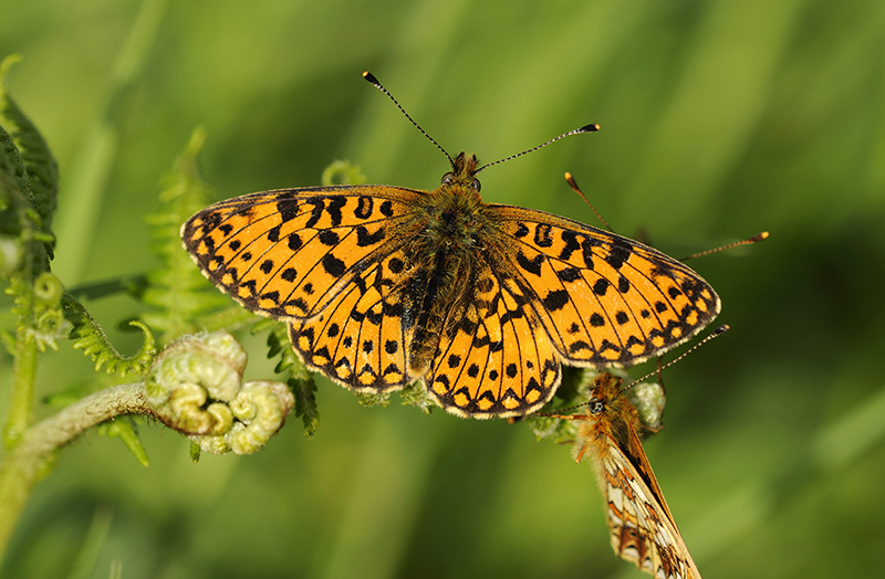 Small Pearl-bordered Fritillary at Marsland Mouth, Devon, a Devon Wildlife Trust Nature Reserve. Photo by Ross Hoddinott/National Trust Images.