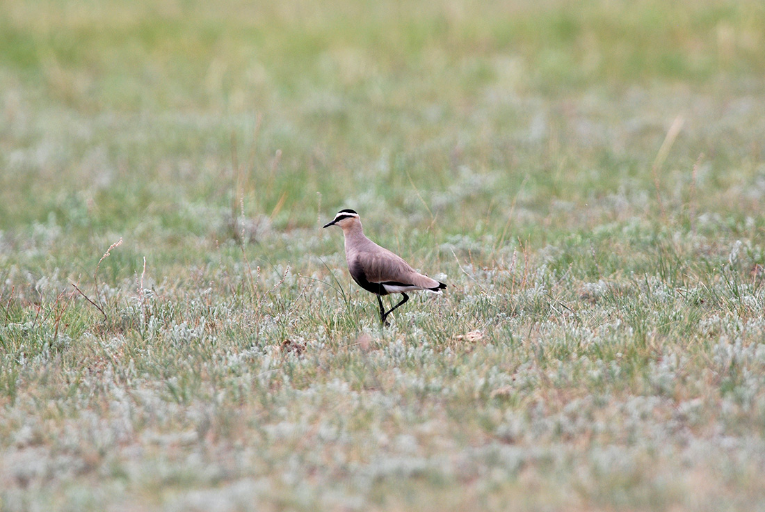 Sociable Lapwing (Laurens Steijn, courtesy of Birding Breaks)