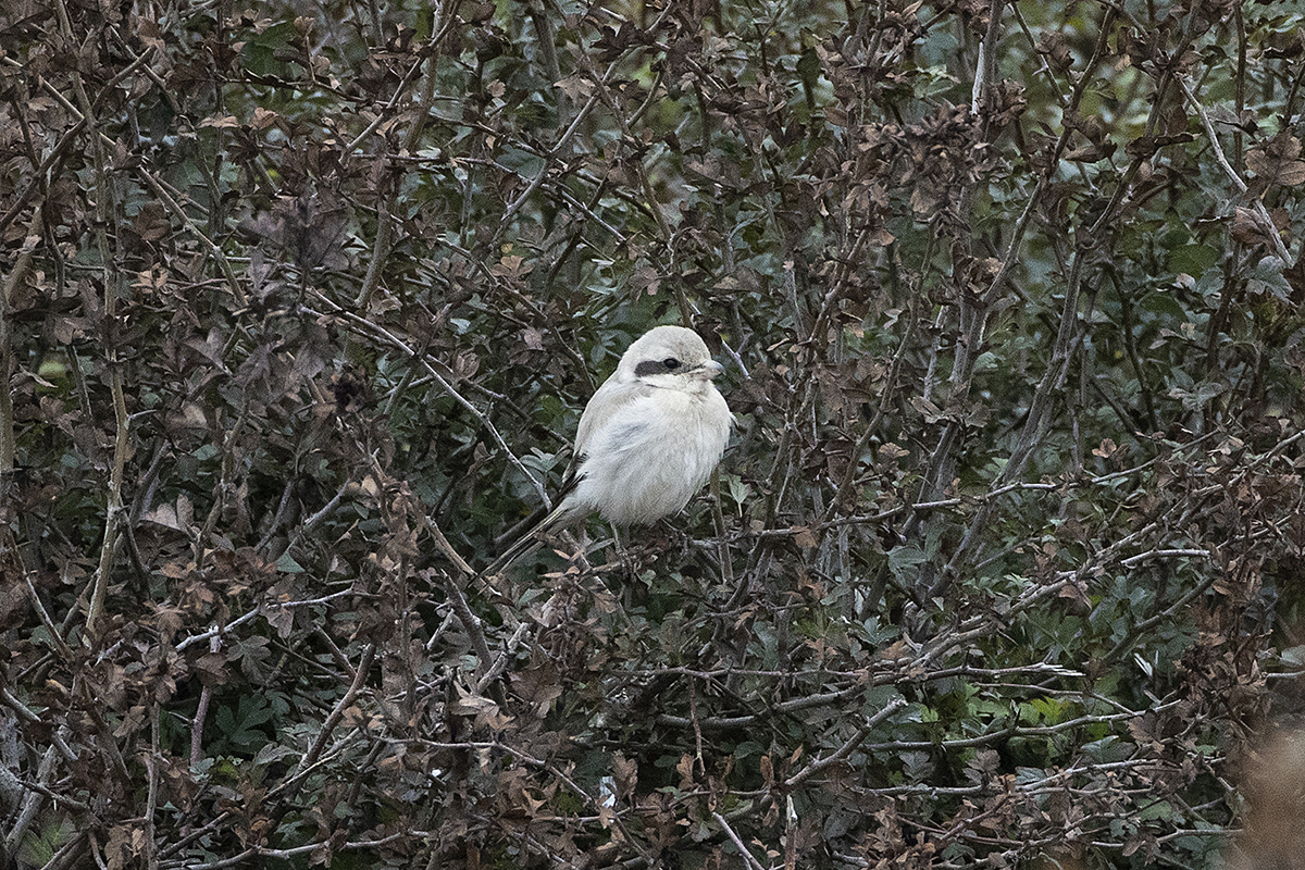 Steppe Grey Shrike at Benacre, Suffolk, 4 October 2020, by Andrew Moon