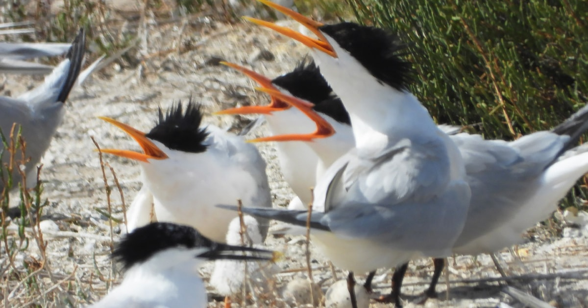 First record of multiple Elegant Tern nests in Spain