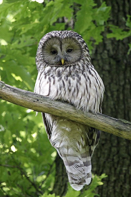 Ural Owl. Photo by Peter Csonka.