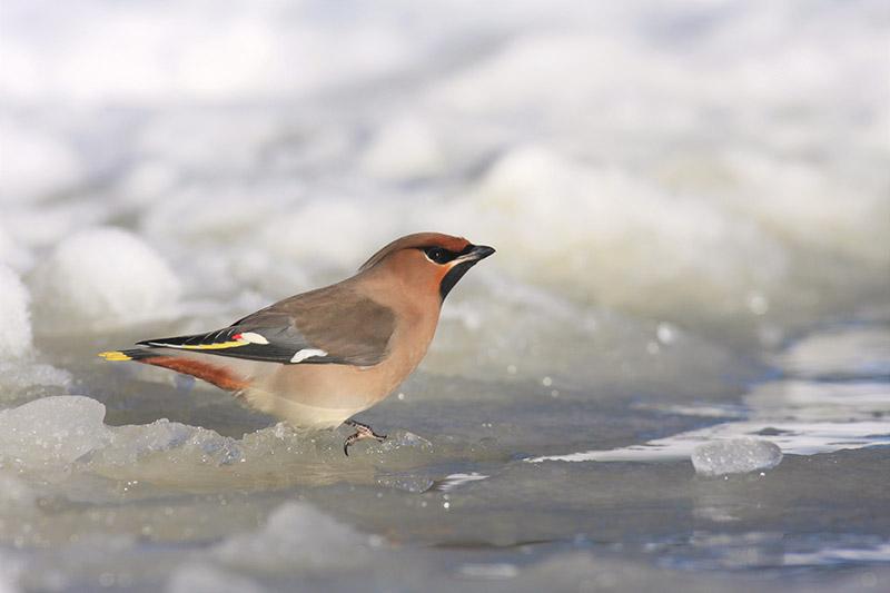 Waxwing (photo courtesy of Birding Breaks).