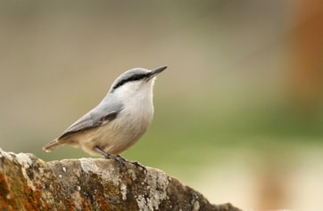 Western Rock Nuthatch (Kai Gauger, courtesy of Birding Breaks)