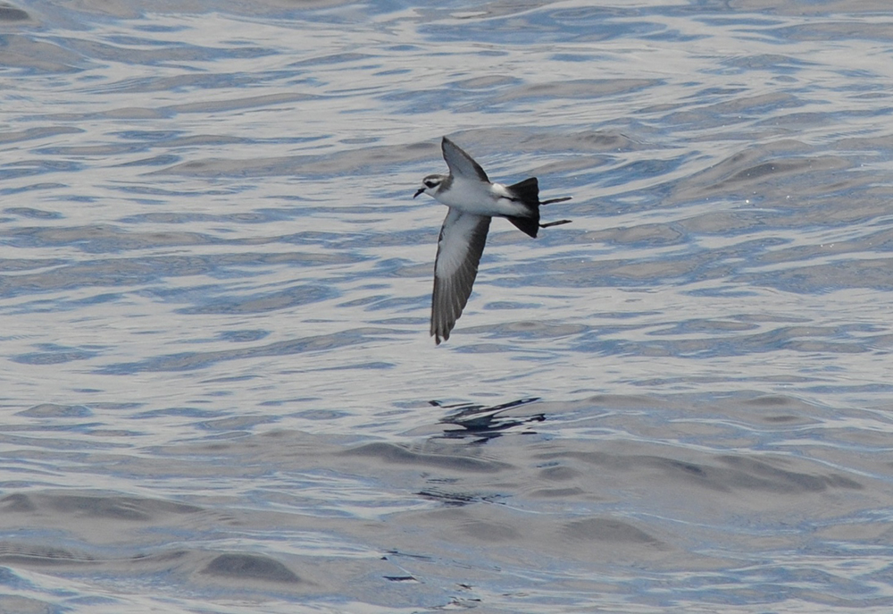 White-faced Storm Petrel.