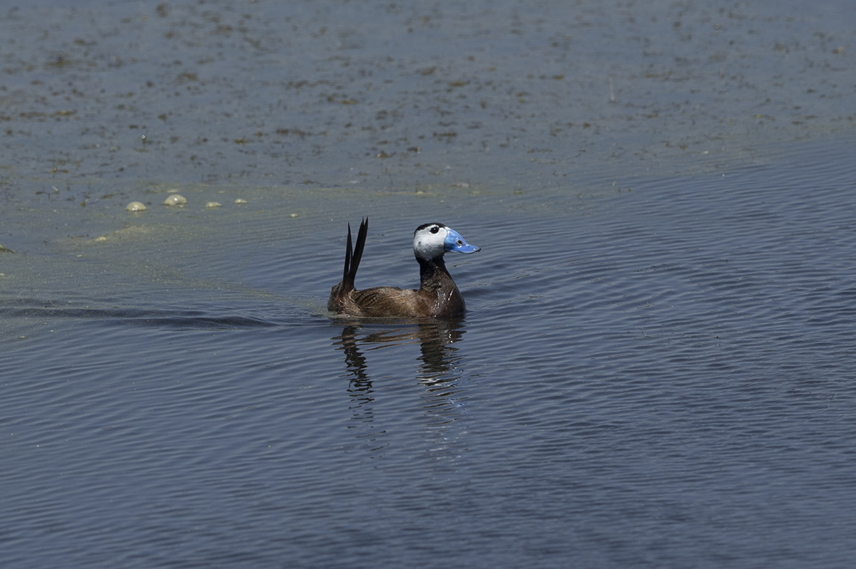 White-headed Duck (photo: Jeff Baker).