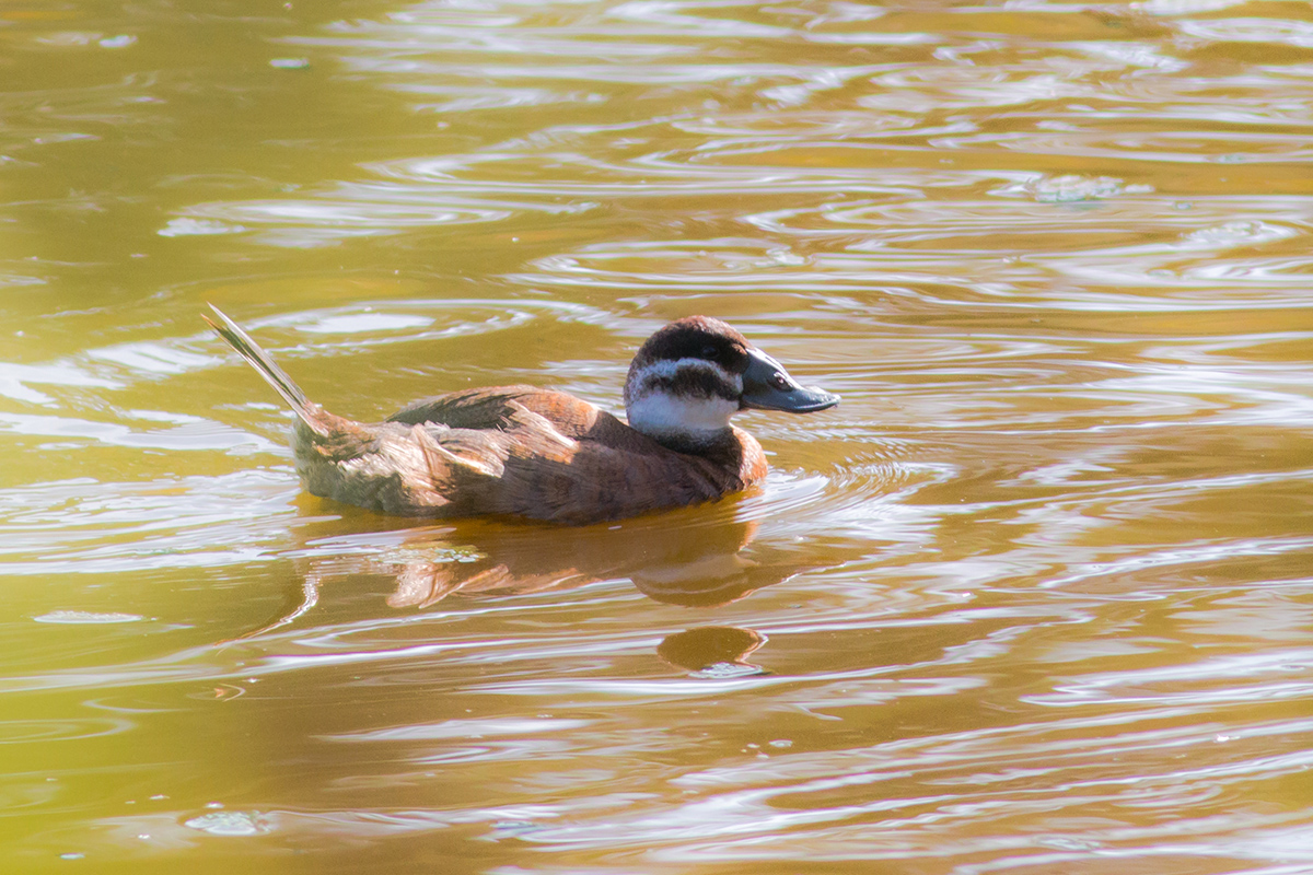 White-headed Duck (Andres de la Cruz)