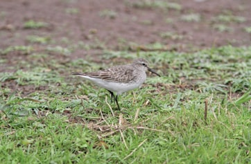 White-rumped Sandpiper. Photo: Dominic Mitchell.